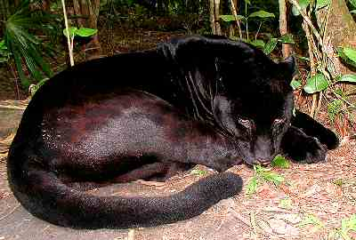 Black Jaguar, Belize Zoo